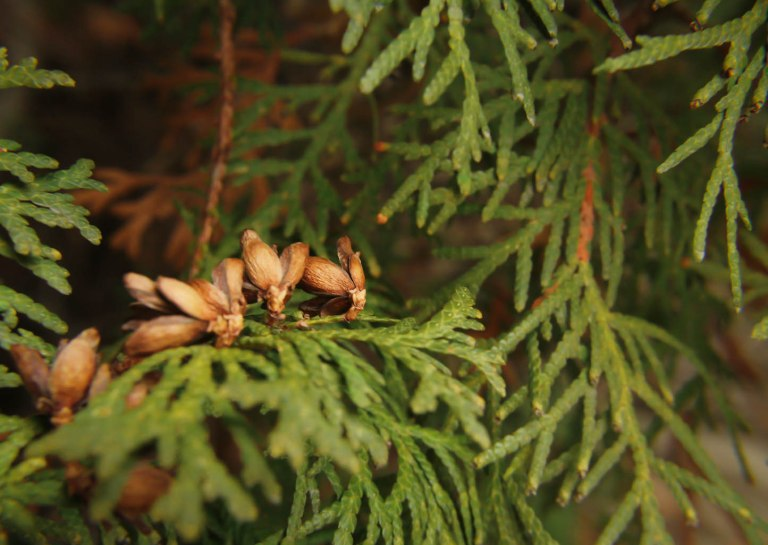 ClarissaHelman-Pine